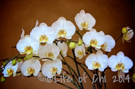 The phalaenopsis hybrid: There is a reason why this plant has become the most popular pot plants in many countries. A mature phal will flower virtually year round, producing new spikes almost continuously. The flowers can be very long-lasting (up to half a year, at least).